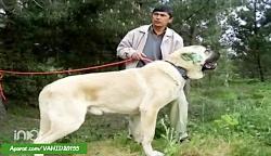 غول پیکرترین و بزرگ ترین سگ های دنیا
