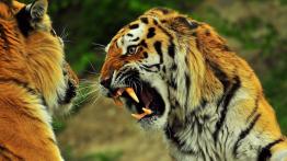 فیلمبرداری نزدیک از بزرگترین گونه ببر در دنیا فیلم