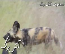 فیلم سگهای وحشی حیوانات وحشی