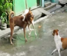 مبارزه سگ های نر خیابانی برای جفت گیری با سگ ماده