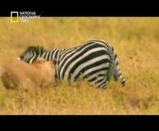 مبارزه مرگبار و دیدنی حیوانات وحشی/مبارزه شیر vs بوفالو