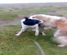 مبارزه و جنگ بین سگ های وحشی