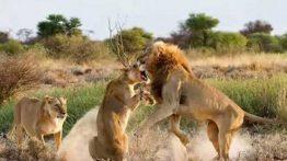 نبرد شیرها بر سر شکار فیلم