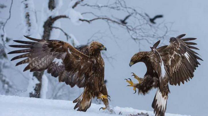 نبرد عقابها بر سر لاشه شکار فیلم