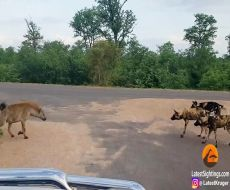 نبرد کفتار با سگهای وحشی آفریقایی