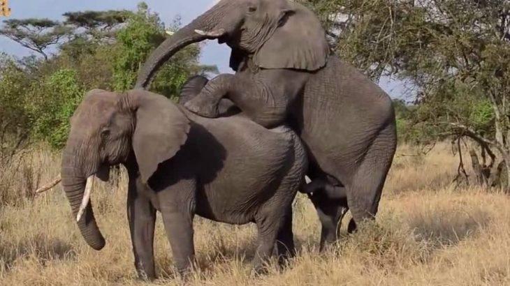 نزدیکی فیل با انسان