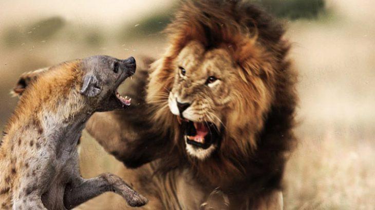 وحشت گله کفتارها از حضور شیر نر و فرار آن ها فیلم