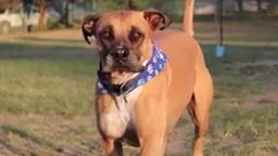 وحشی ترین و خطرناک ترین نژادهای سگ- 10 نژاد برتر خطرناک
