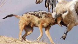 وقتی شغال ها به شکار می روند شکار حیوانات توسط شغال