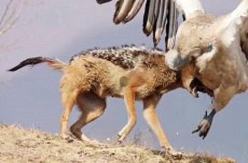 وقتی شغال ها به شکار می روند | شکار حیوانات توسط شغال