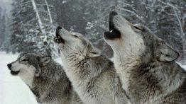 گرگهای گرسنه به دنبال خرگوش صحرایی بزرگ فیلم