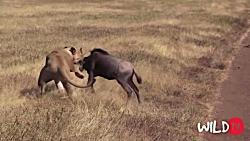 حملات مرگبار شیرها در طبیعت (فوق العاده وحشتناک)