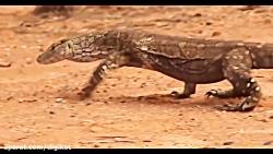 شکار دیدنی مار کبری توسط اژدهای کومودو