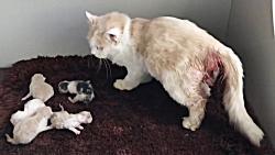فیلم زایمان کردن 6 بچه گربه