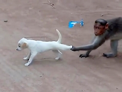 بازی میمون با سگ