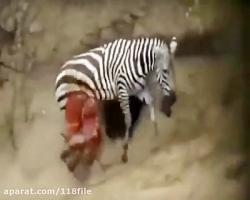 شکار  وحشیانه  تمساح  گورخر  حیات وحش