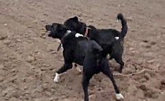 جنگ و نبرد خونبار بین سگ های وحشی-6192__1924