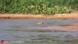شکار تمساح توسط جگوار وحشی