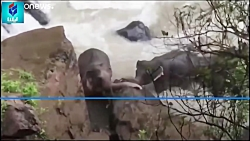 مرگ شش فیل در حین نجات یکدیگر از سقوط در آبشار