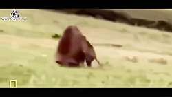 عجیب و غریب در مقابل بز کوهی در مقابل شیر خرس