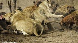 شکار و نبرد حیوانات وحشی (خونین و خفن)