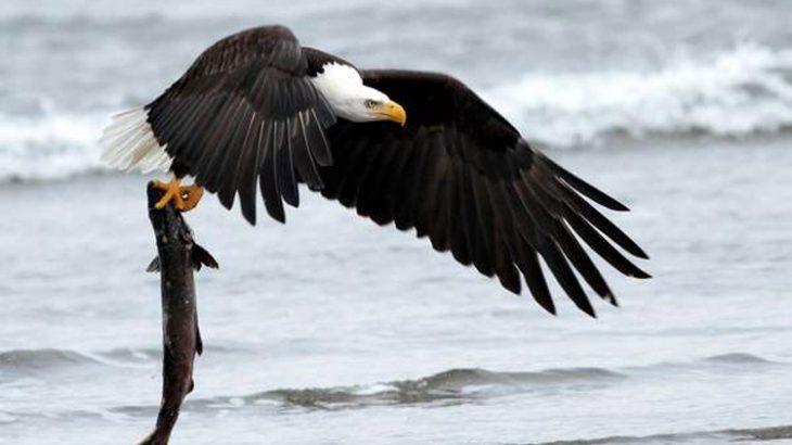 ماهیگیری عقاب آمریکایی با یک شیرجه به سمت دریاچه | فیلم
