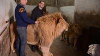 مهربانی شیرهای نر غول پیکر با نگهبانان باغ وحش
