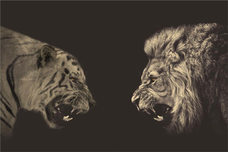 رقابت شیر و ببر؛ کدام شکارچی چالاکتر است | فیلم