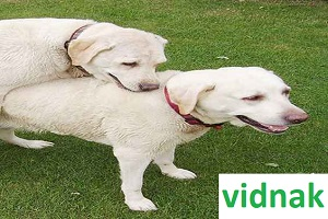 Mating-the-dogs