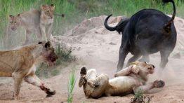 PAY-Buffalo-v-Lions