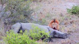 lion-feeding-on-rhino