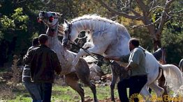 mating-of-horses-selection-of-animals-breeding-methods-ways-of-mating-7