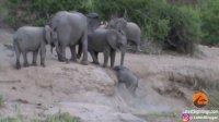 امدادرسانی فیل های گله به فیل کوچک