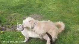 جفت گيري سگ خانگي با گربه