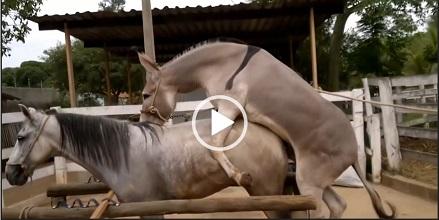 جفت گیری خر و اسب – جفت گیری اسب و خر