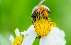 جفت گیری زنبور ملکه