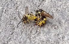 جفت گیری زنبور
