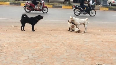 جفت گیری و جنگ سگ های خیابانی 18+