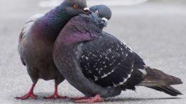 جفت-گیری-کبوتر