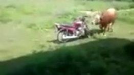 جفت گیری گاو از نمای نزدیک در مزرعه