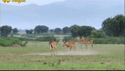 جنگ آهوهای نر برای جفت گیری با جفت ماده در حیات وحش
