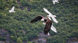 حمله عقاب به دسته مرغان کاکایی در حال پرواز فیلم