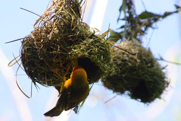 حمله مار و شاهین به لانه پرنده بافنده | فیلم
