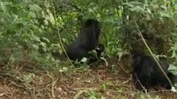 دنیای حیوانات - جفت یابی و جفتگیری گوریل های کوهستان - Mating Mountain Gorilla