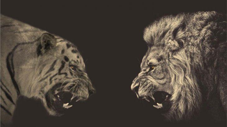 رقابت شیر و ببر؛ کدام شکارچی چالاکتر است فیلم