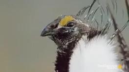 رقص پرنده سیج نر برای جفت گیری جنس مخالف