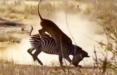 شکار بی رحمانه گورخر توسط شیر