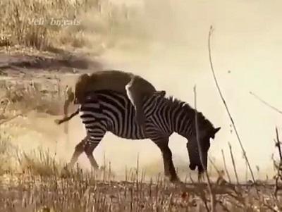 شکار باورنکردنی گورخر توسط شیر ماده قوی در حیات وحش