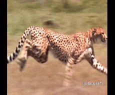 شکار ,غزال , ,چیتا , لاشخور