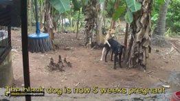 فیلم جفت گیری سگهای نر و ماده با یکدیگر جفتگیری حیوانات اهلی